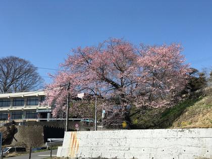 20180330sakura_01